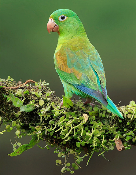 Orange-chinned Parakeet (Brotogeris jugularis) in Costa Rica by Don Hamilton Jr.